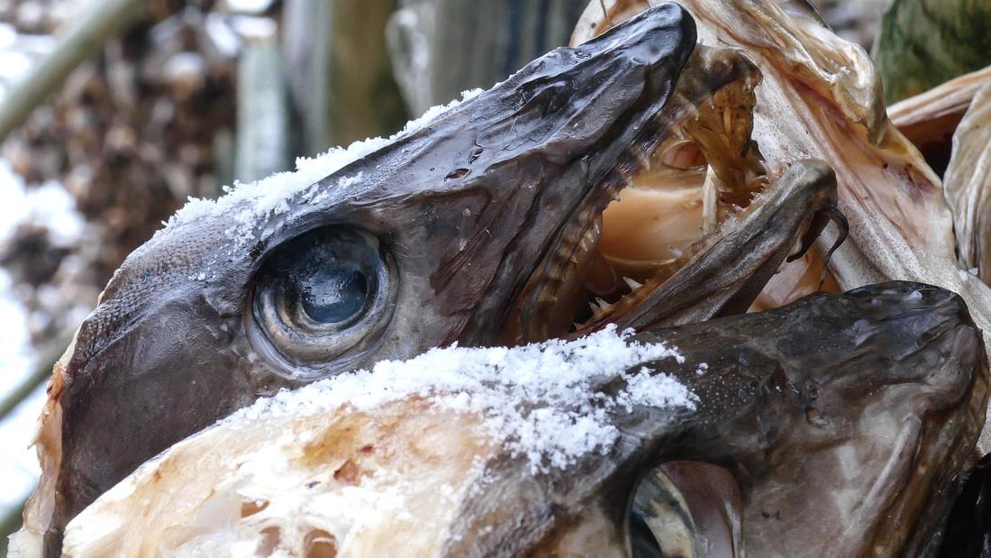 Severed cod heads drying on racks