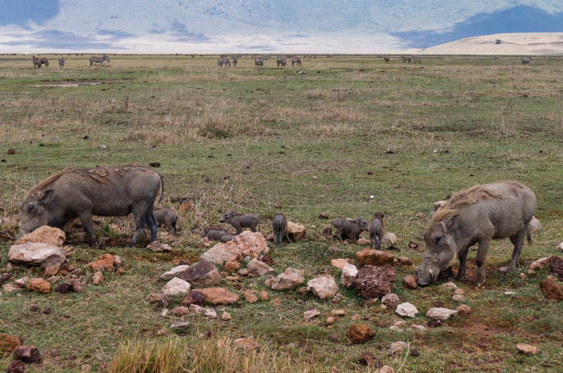 Warthog, Ngorongoro Crater, Tanzania