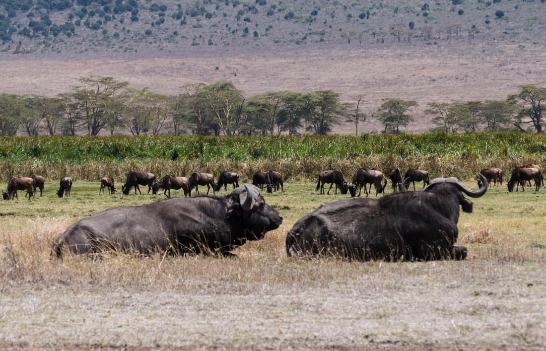Water buffalo and wildebeest, Ngorongoro Crater, Tanzania