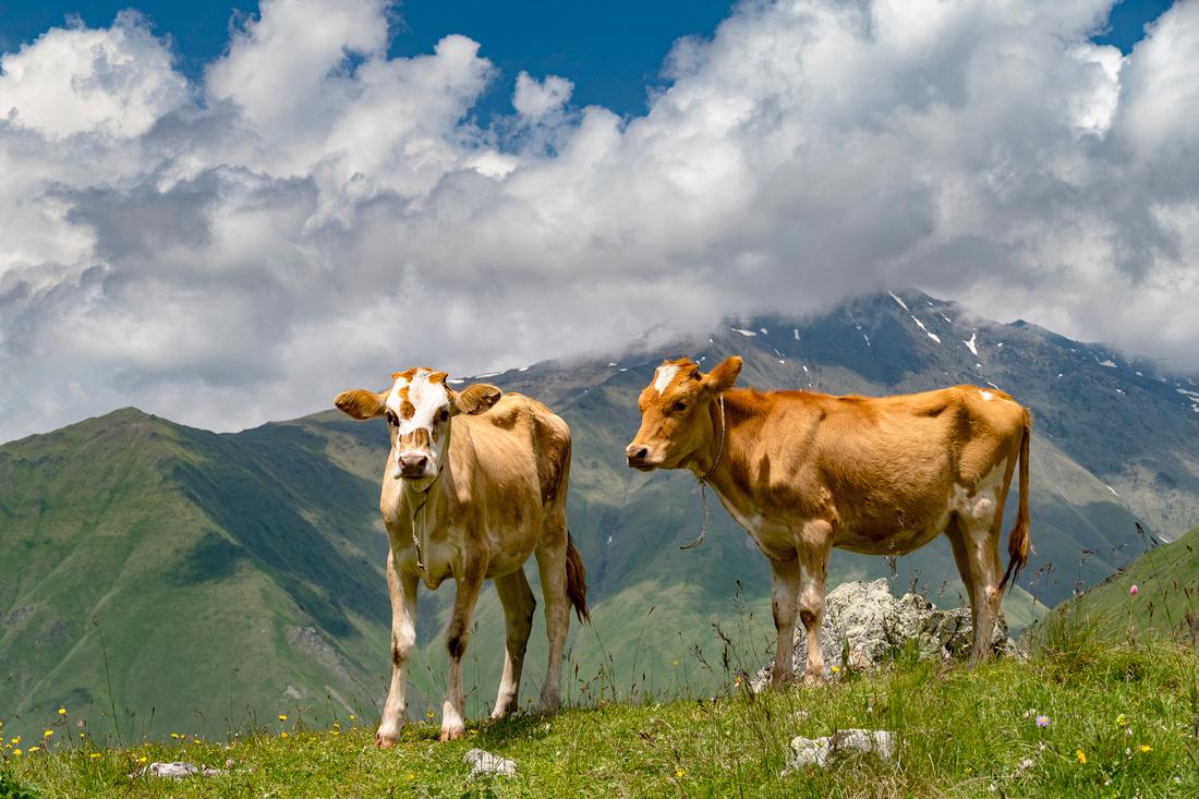 Caucasian Mountain cattle