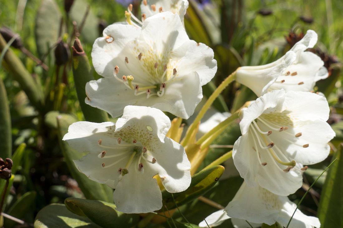 Rhododendron Caucasium
