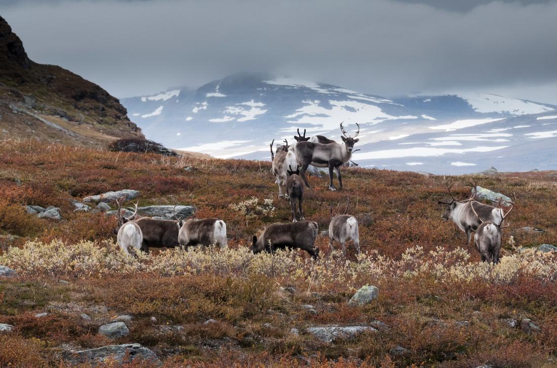 Reindeer, Kungsleden, Sweden