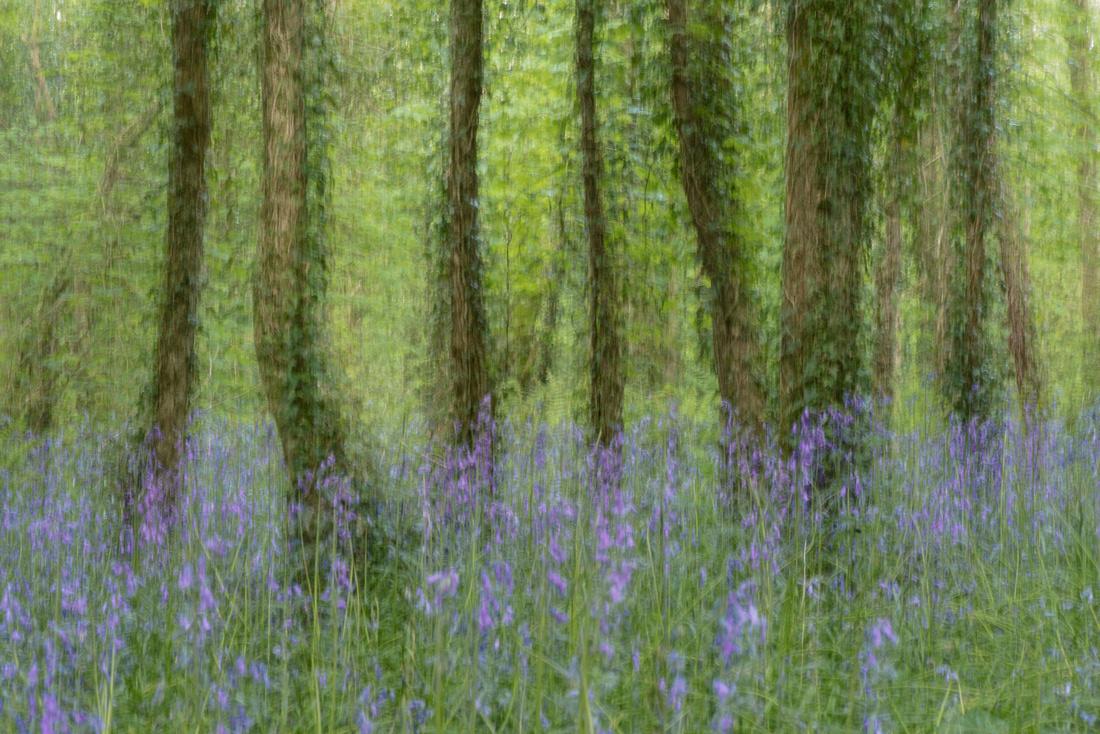 ICM Tehidy bluebell woods