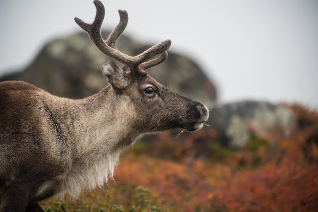 Reindeer in Arctic Sweden