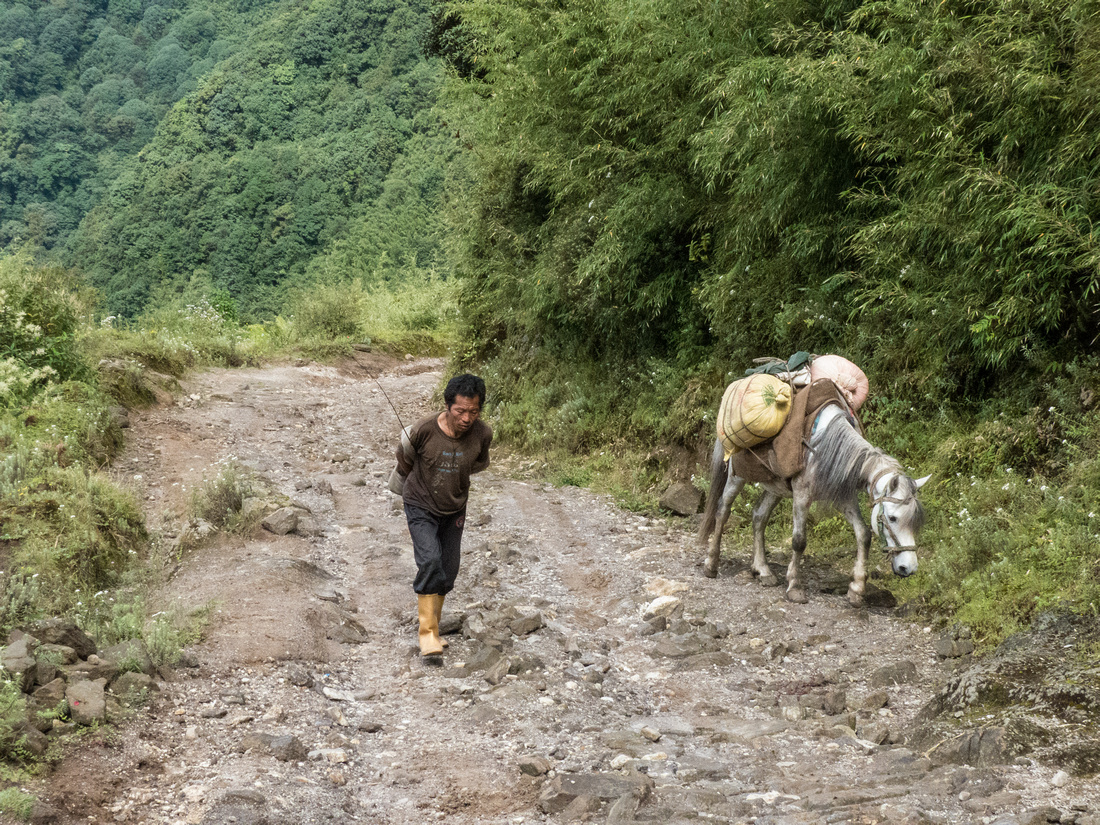 Mule transporting buttermilk in the Himalaya
