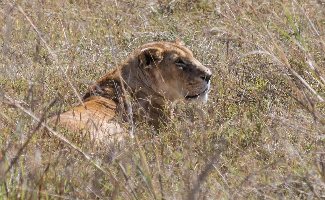 Lioness, Ngorongoro Crater, Tanzania