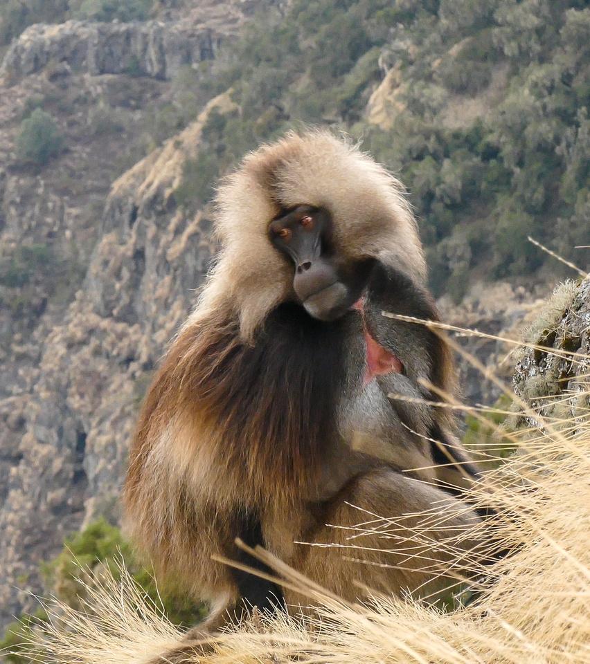 Male gelada baboon, Simien Mountains, Ethiopia