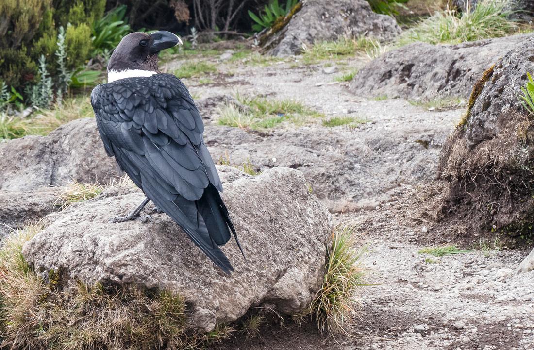 White naped-raven (Corvus albicollis)