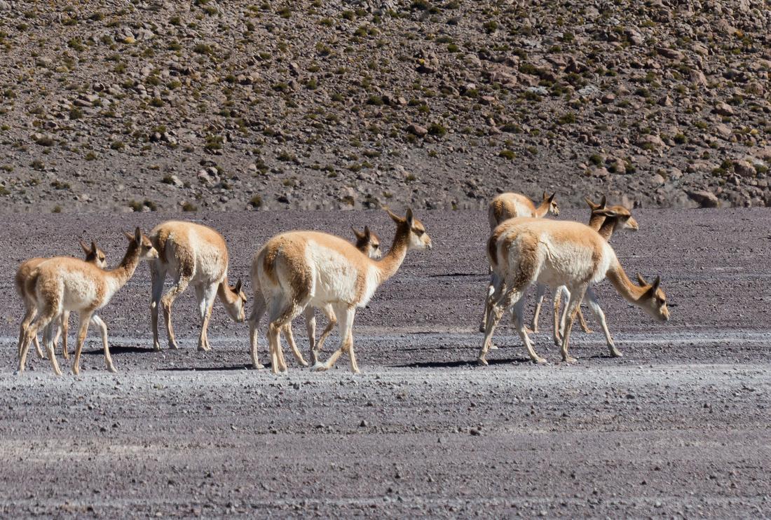 Vicuñas grazing in the Desert of Sololi