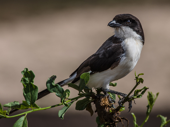 Long-Tailed Fiscal, Tanzania