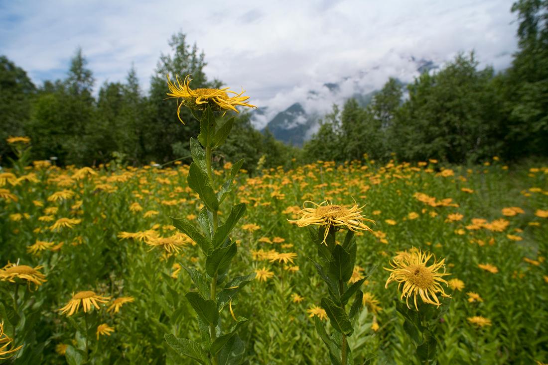 Caucasian mountain sunflowers