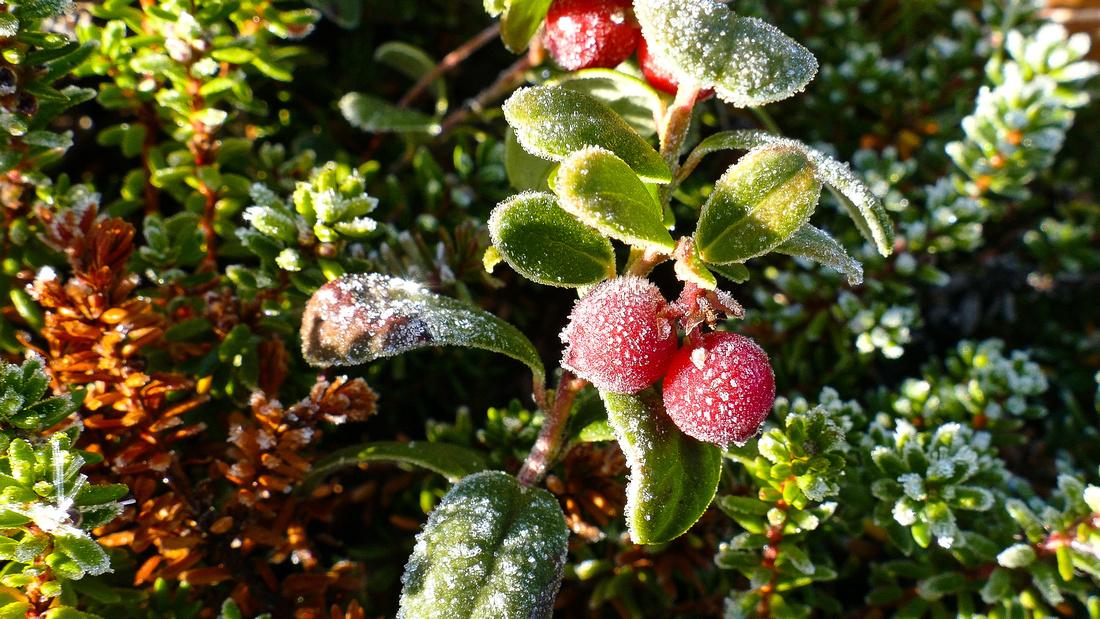 Frozen berries in a Swedish autumn