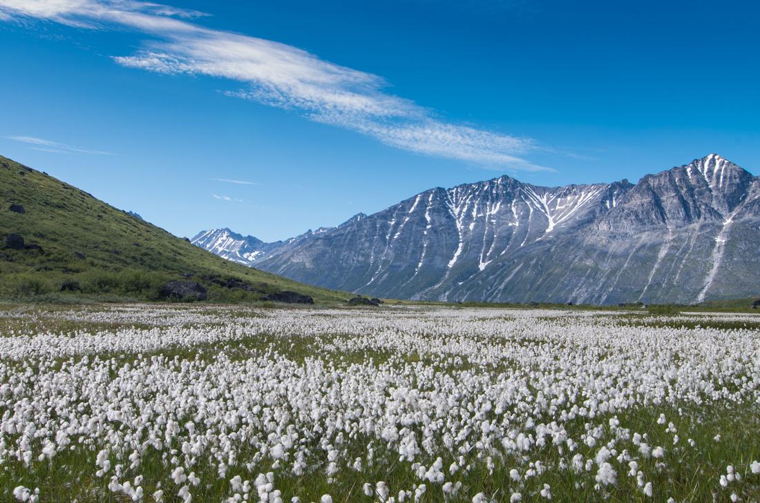 Bog Cotton in Klosterdalen
