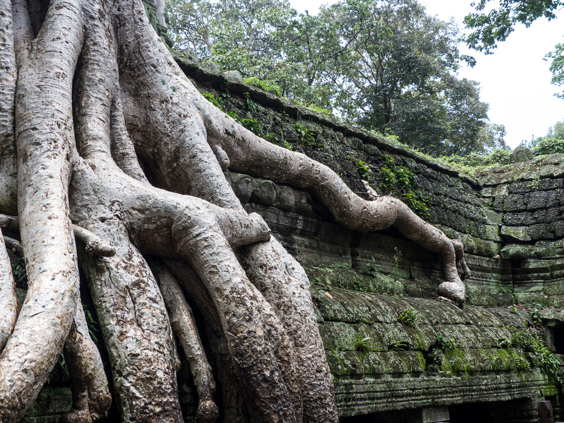Strangler fig trees, Ta Phrom