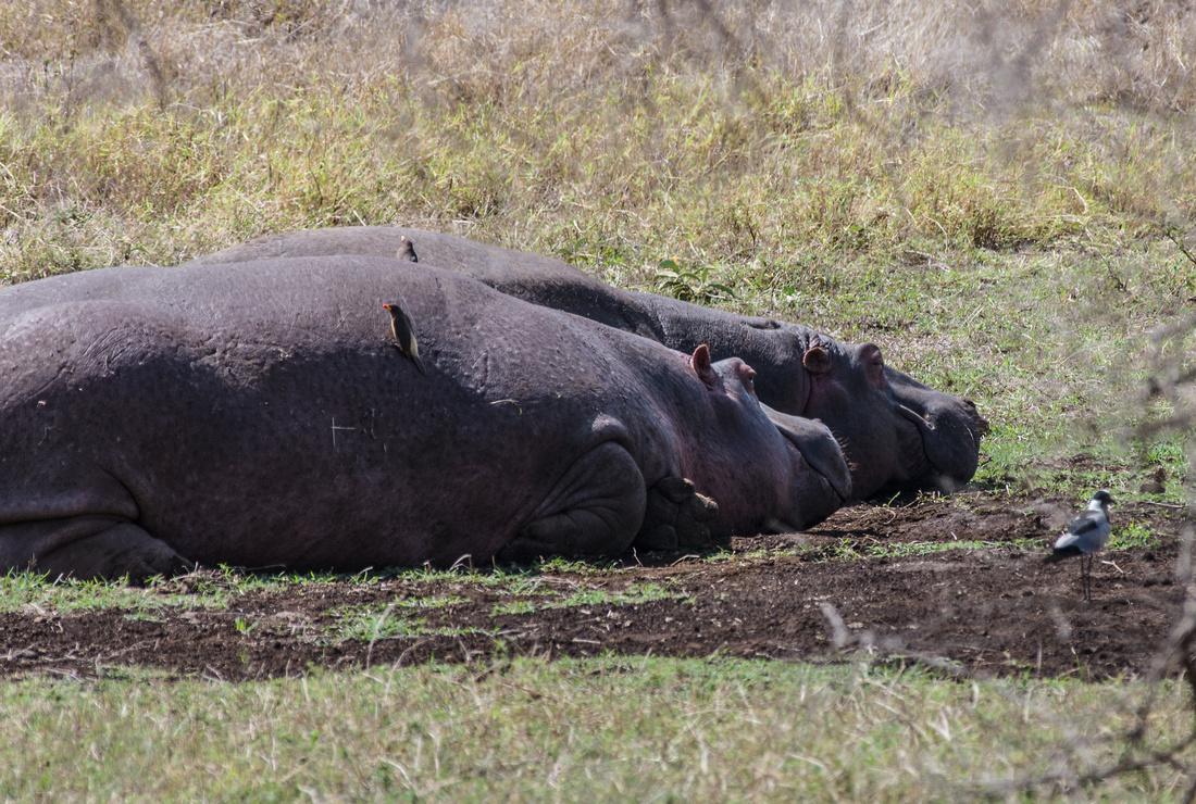 Hippopotami, Ngorongoro Crater, Tanzania