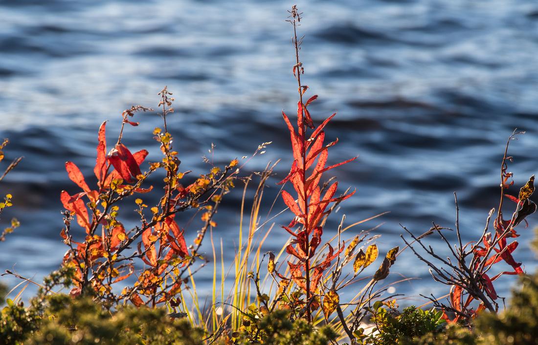 Fireweed growing beside Stuor Dáhtá