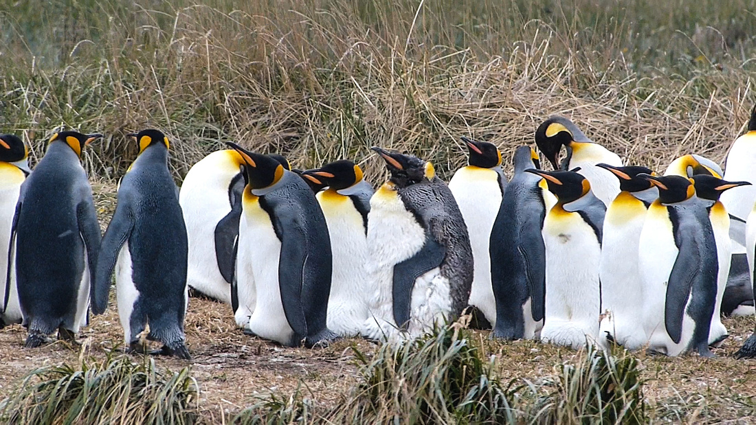King penguins at the Parque Pingüino Rey, Tierra del Fuego, Chile