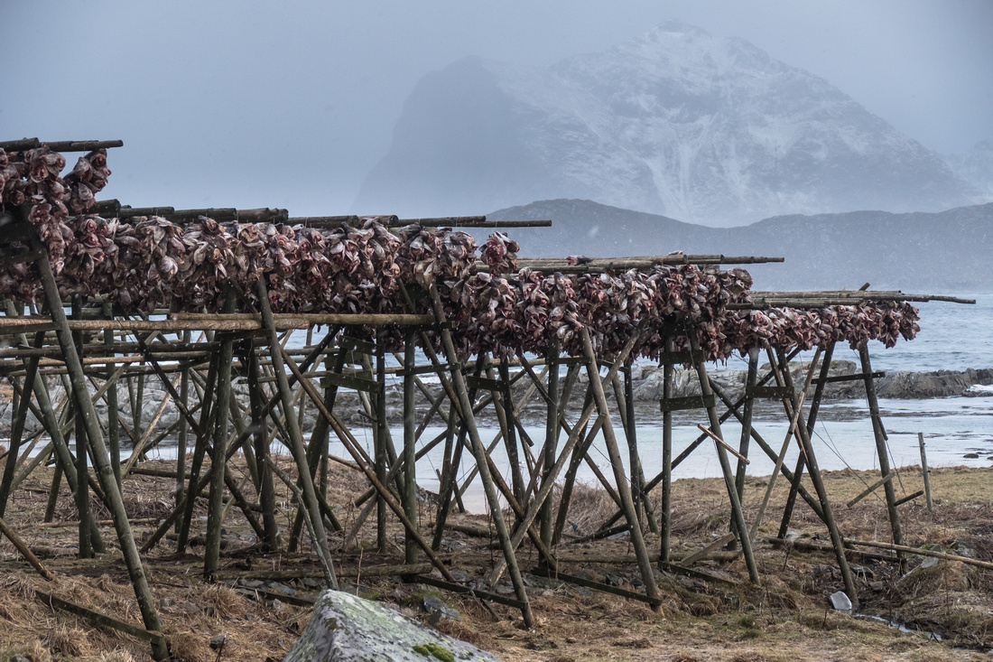 Cod heads drying in the cool, dry, Arctic air of Lofoten