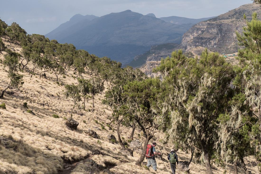 Giant heather, Simien Mountains, Ethiopia