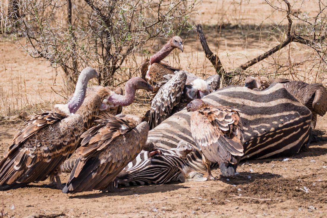 Vultures feeding on a zebra carcass, Ngorongoro Crater, Tanzania