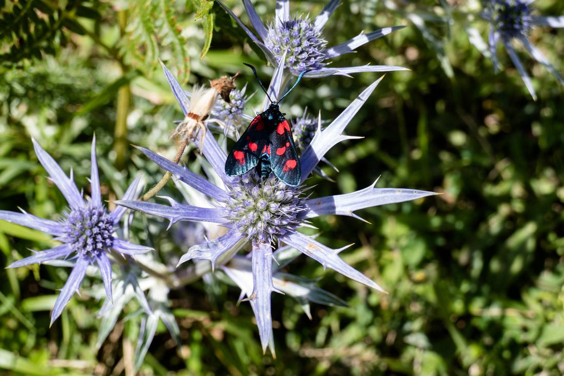 Burnet moth on Carduncellus mitissimus