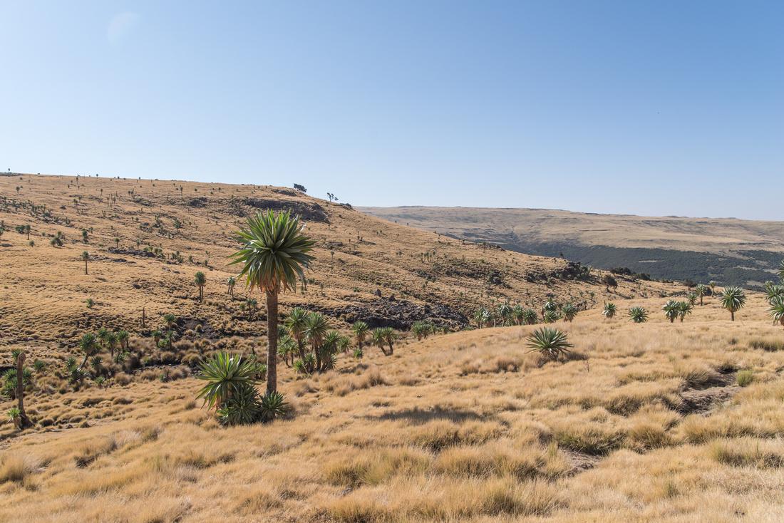 Giant Lobelia, Simien Mountains National Park, Ethiopia